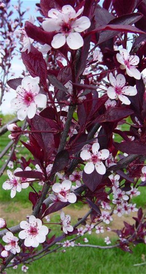 cistena plum flowering shrub plum cistena trees plants flowers and shrubs