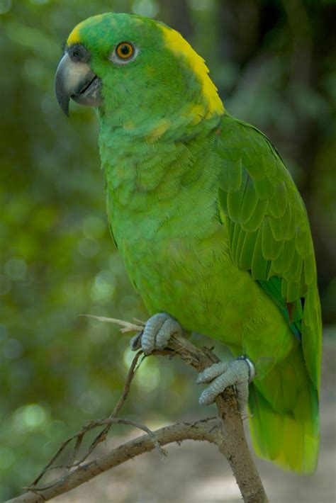 amazon parrot yellow naped amazon wikipedia
