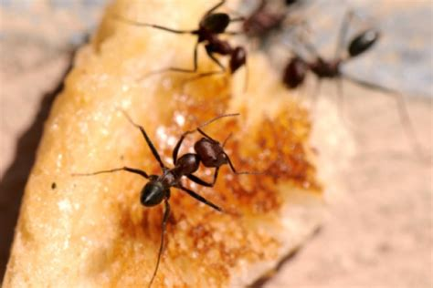 natural predator of bed bugs 1 encourage natural predators 10 ways to bug proof your home howstuffworks