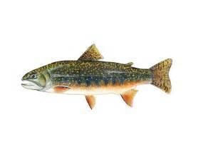 california trout series by conservation artist karen talbot