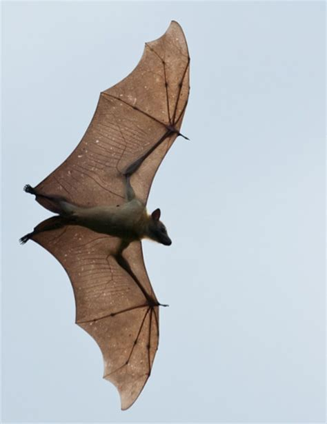 the kasanka bat migration africa geographic