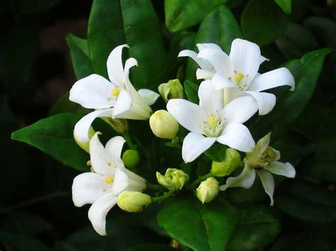 white flower shrub fragrant fragrant flowers flickr photo