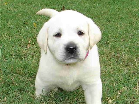 white labrador retriever puppies white labrador retriever puppies