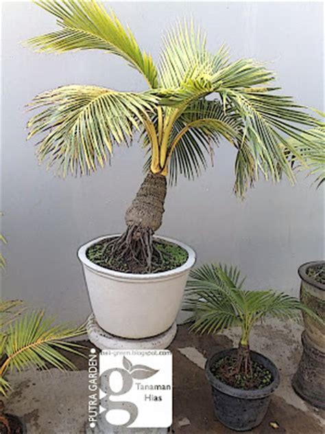 tips  langkah mudahudah membuat bonsai kelapa tanaman