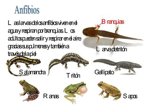 imagenes animales anfibios fotos de animales anfibios con sus nombres imagui