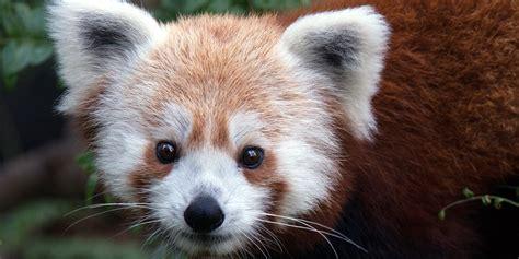 read panda panda smithsonian s national zoo
