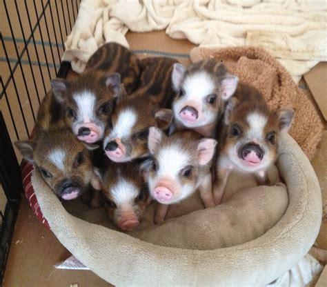 Mini Pet kune kune mini pig a mini pig will be our next family pet http littleteacupigs wix