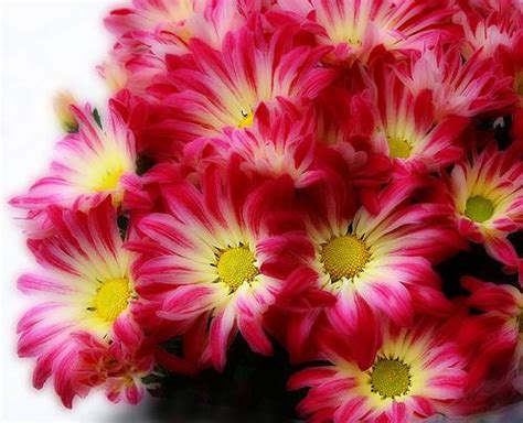 november flower with love and cheerfulness a chrysanthemum the november