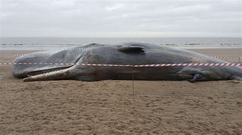 Three Dead Sperm Whales Wash Up In Skegness A Day After Whale Laundry