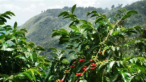 coffee plantation wallpaper the coffee arabica plant