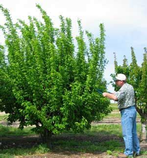 fruit trees for small backyards 17 best images about arboles on pinterest trees a tree