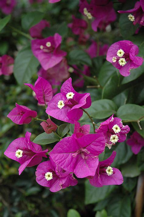 purple queen bougainvillea bougainvillea moneth