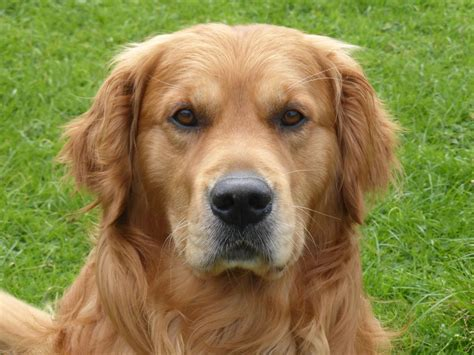 golden retriever stud pedigree golden retriever for stud bude cornwall pets4homes