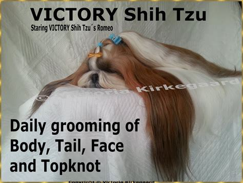 shih tzu grooming 3 months victory shih tzu daily grooming of topknot