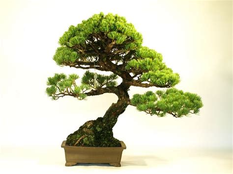 Indoor Japanese Plants by Indoor Bonsai Trees For Sale Japanese Macro Bonsai Tree Export Just Export Ready Bonsai
