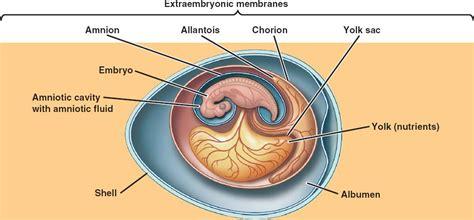 diagram of an amniotic egg amniotic html 34 24amnioteegg jpg