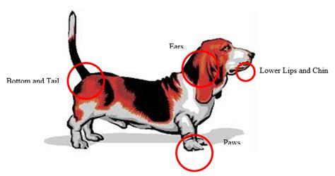 seborrheic dermatitis in dogs seborrheic dermatitis animal dermatology clinic