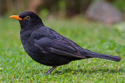 a blackbird mutation