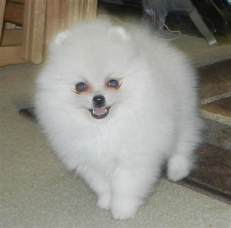 raising pomeranian puppies below are our exles of whites we produced here to give you an idea what our