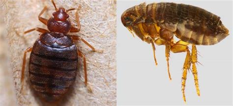 difference between ticks and bed bugs bed bugs vs fleas difference and comparison diffen