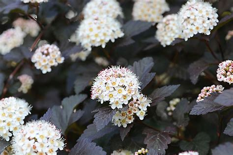 physocarpus opulifolius diabolo don t forget to add shrubbery in your landscaping