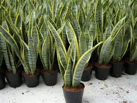 Bunga Pot Artificial Bunga Hias Hiasan Meja 1 snake plant in s tongue s tongue jinn s tongue dan bowstring hemp