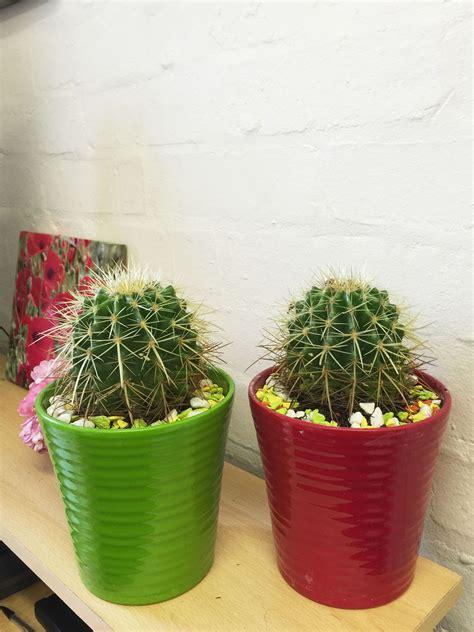 1 large cactus evergreen indoor office plant in ceramic