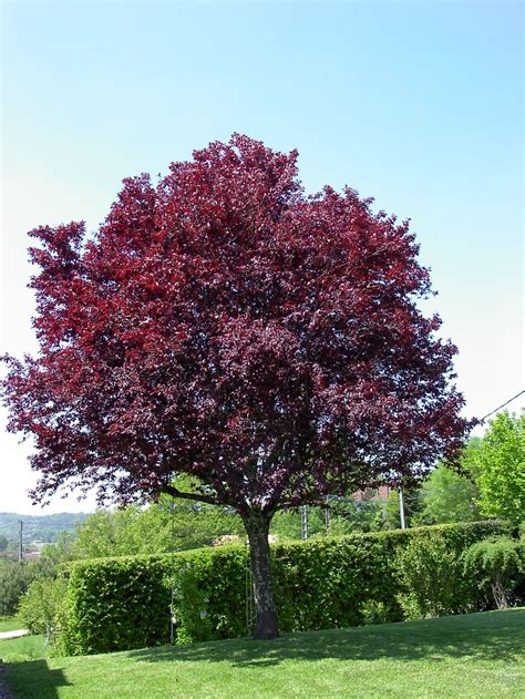prunus pissardii trees pinterest prunus