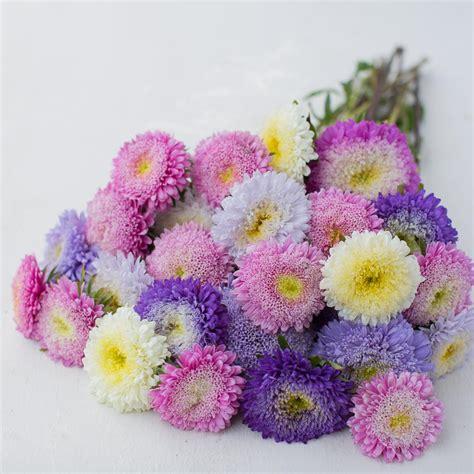 Bibit Bunga Aster Single Mixed China Flower Mix Colour china aster matador mix floret shop