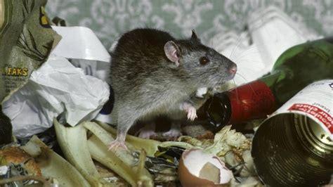 Mittel Gegen Ratten 1084 by Mittel Gegen Ratten Ratten Im Garten Loswerden Pflanzen