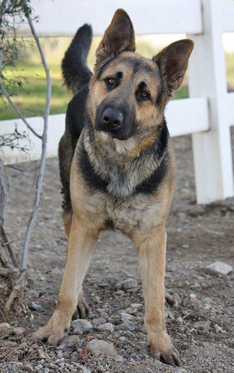 dogs that look like german shepherds looks like this german shepherd is ready to go gsd saved