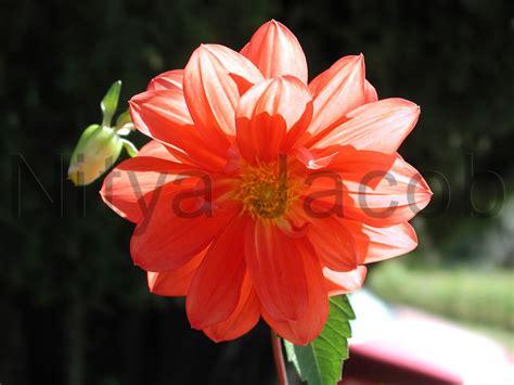 images flowers flowers p1010060 jpg