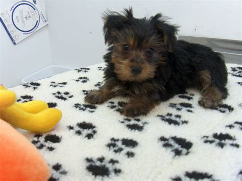 teacup yorkie puppies price range yorkie puppy
