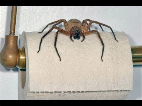 giant spider in bathroom giant spider lives in my bathroom backpacker warning