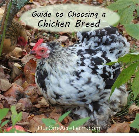 guide  choosing chicken breeds pick   breeds