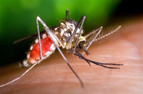 picture ochlerotatus triseriatus mosquito blood