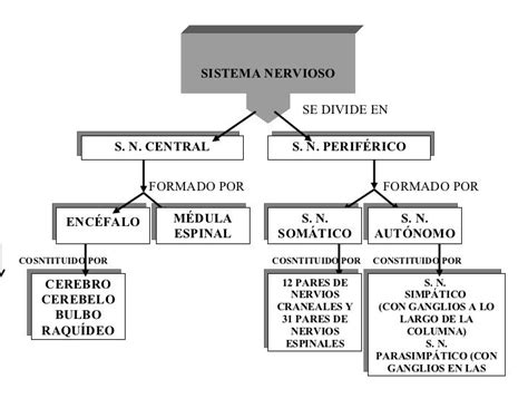 mapa conceptual del sistema nervioso mapa conceptual del sistema nervioso central y perif 233 rico