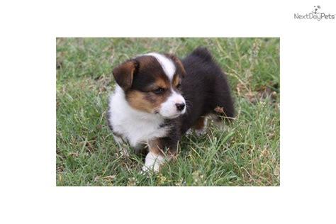 mini corgi puppies corgi alert and bright breeds picture
