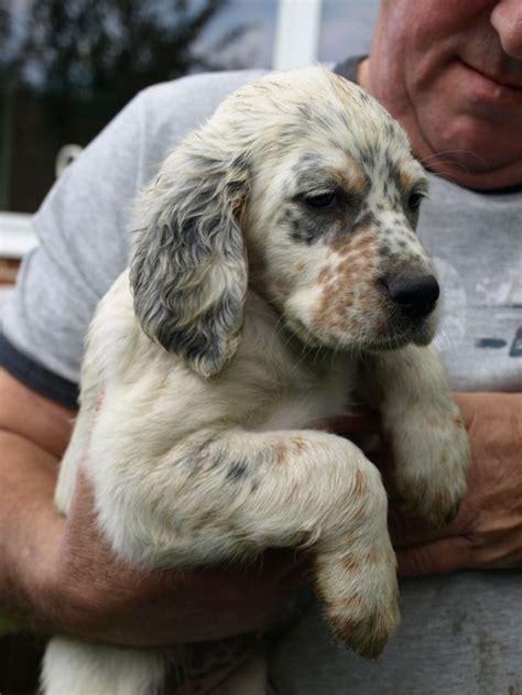 english setter apartment dog 50 beautiful english setter dog pictures