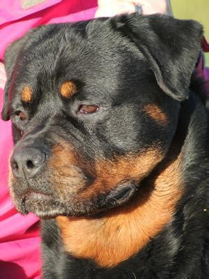 bevanray rottweilers poncheens born to shine for bevanray