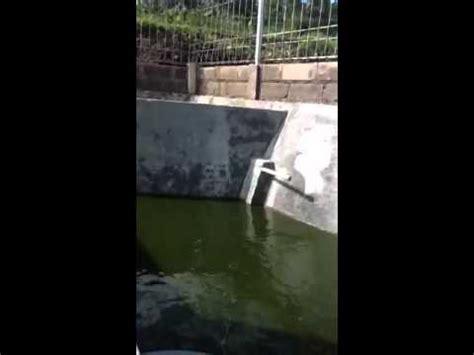Bibit Lele sangkuti catfish farm budidaya lele sangkuriang