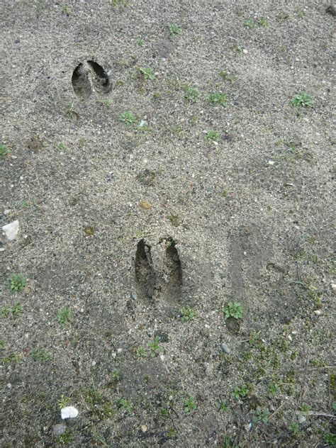 how to your to track deer deer tracks pictures to pin on pinsdaddy