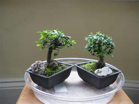 Bakalan Bonsai Ulmus Grouping brief history of my elm ulmus parvifolia swindon district bonsai