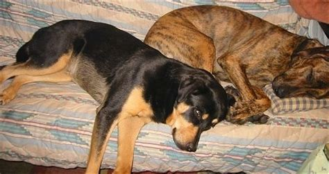 great dane and golden retriever mix pictures of differnt packs of dogs 1