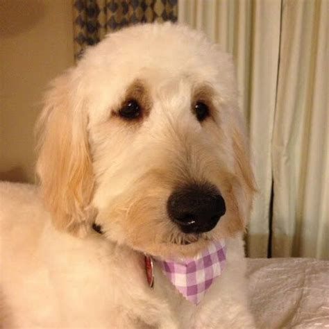goldendoodle puppy exercise top 25 ideas about goldendoodles on