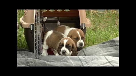 how much are basset hound puppies time outdoors 26 day basset hound puppies