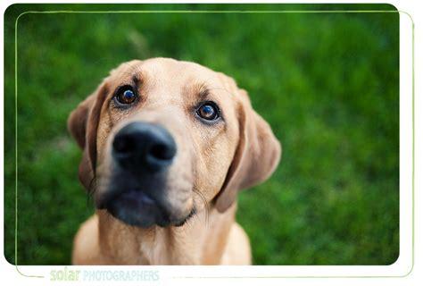 golden retriever hound mix kansas city photographer wayside waifs may 21