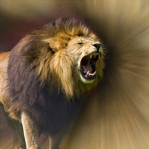 lions roar lions roar fearless flickr photo sharing