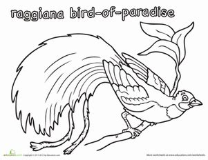 coloring pages bird of paradise raggiana bird of paradise coloring page education com