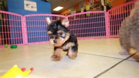 teacup yorkie puppies for sale in macon ga pomeranian cava tzu cavachon shihchon puppies for sale cava tzu breeds picture